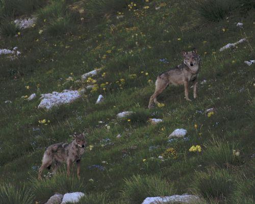le territoire des loups avec utorrent